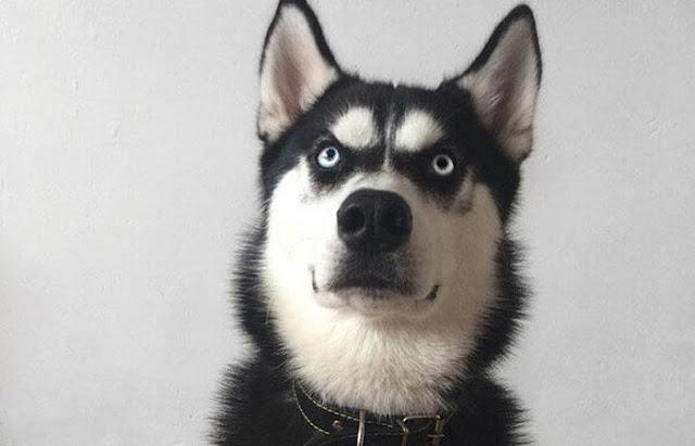 Biếu cảm bằng lỗ tai của chó