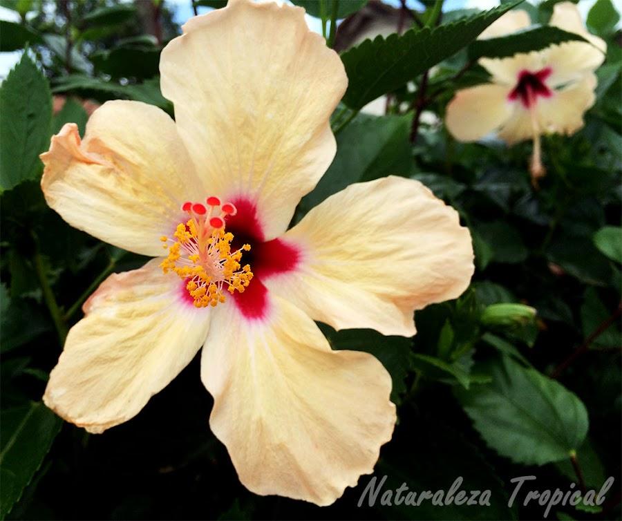 Flor característica de una especie de Hibiscus