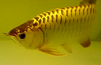 All About Aquarium Fish Most Expensive Freshwater Pet Fish