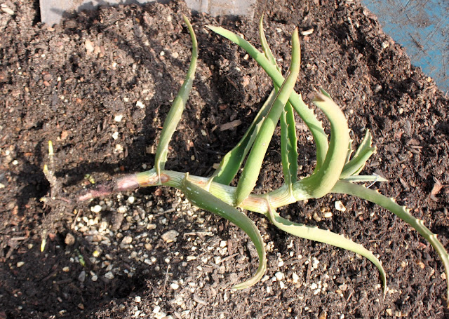 Aloe kedongensis cutting