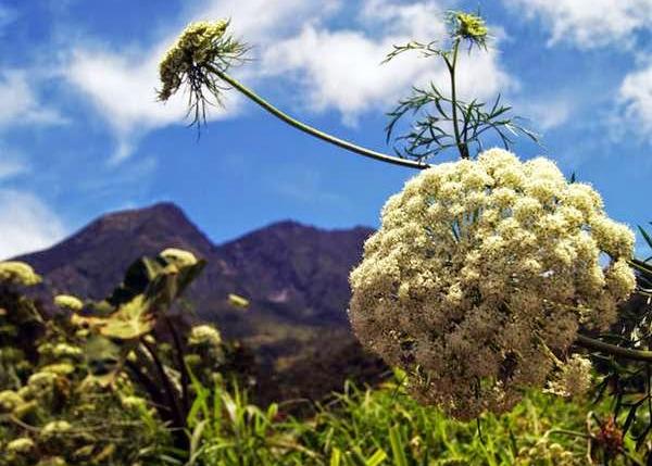 bunga-edelweiss-Anaphalis-javanica