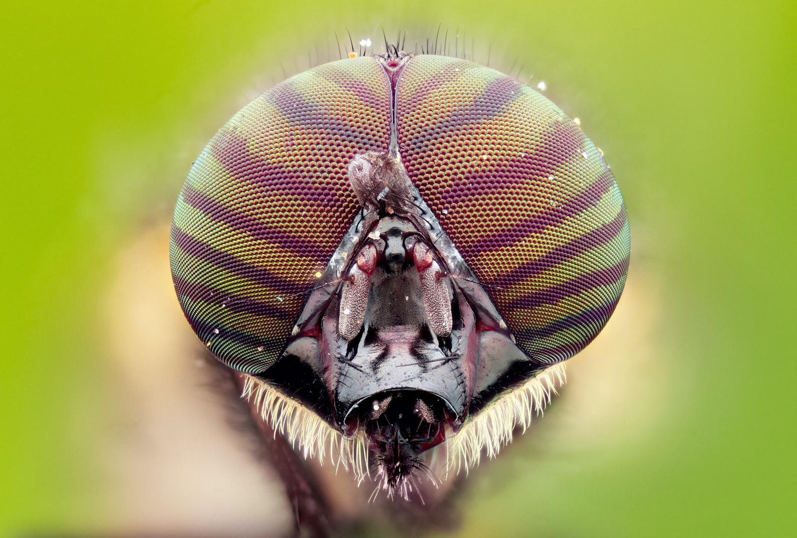 Макрофотография голова насекомого