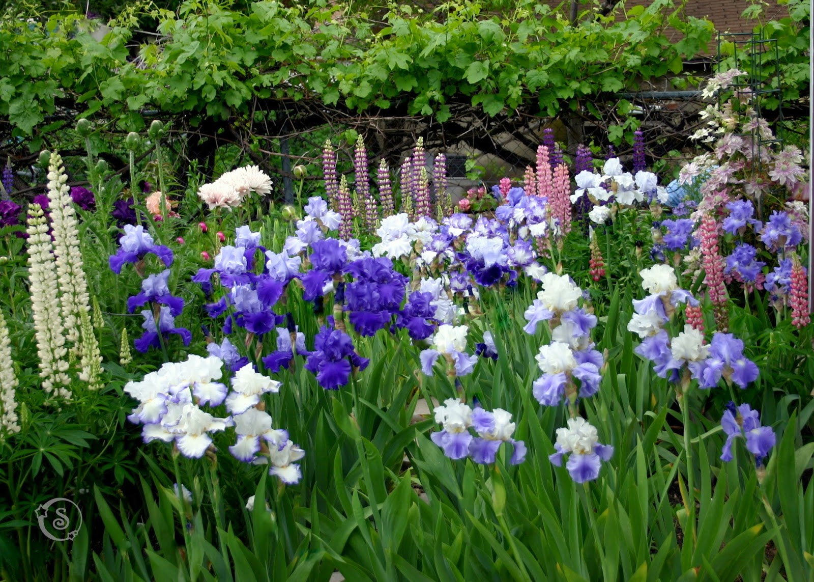 World of irises talking irises tall bearded irises in your the blue iris bed tall bearded irises queens circle pledge allegiance stairway to heaven victoria falls proud tradition altruist izmirmasajfo
