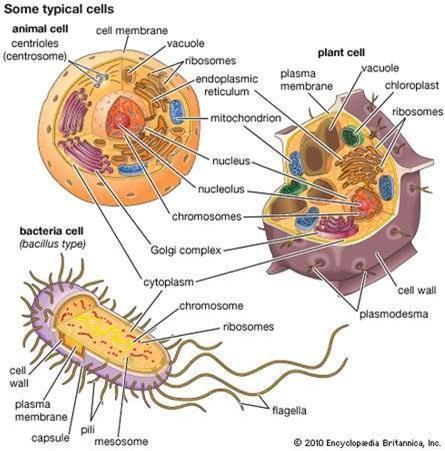 Gambar  . Perbedaan sel prokariotik dan eukariotik (tumbuhan dan hewan)