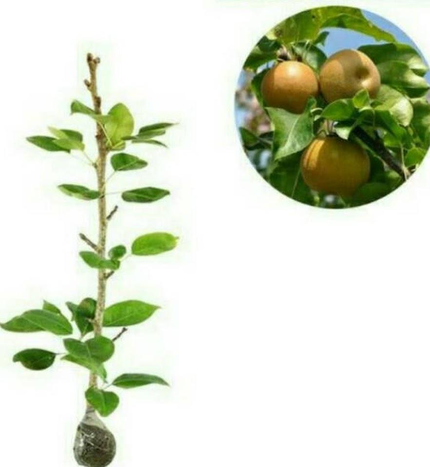 bibit buah pear pir coklat Maluku Utara