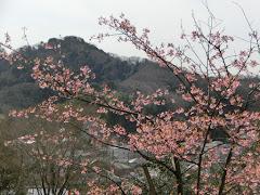 浄妙寺のカワヅザクラ