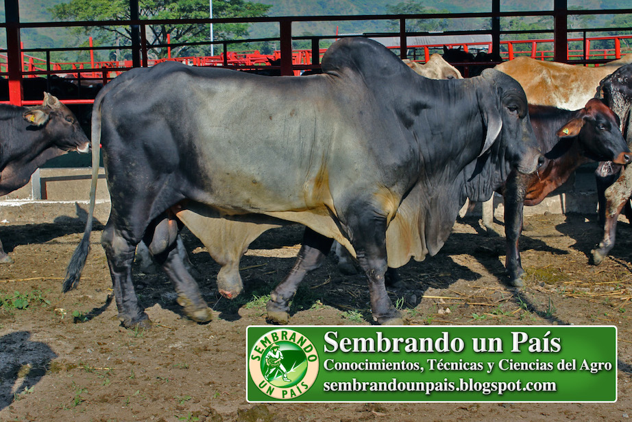 toro semental