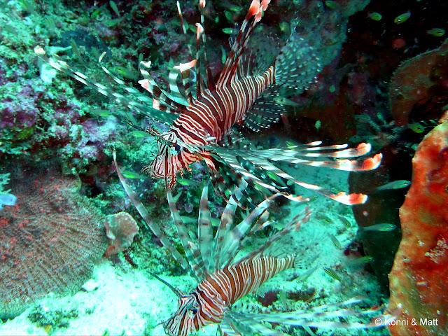 lionfish, devil fire fish, celebes sea, sulawesi, indonesia