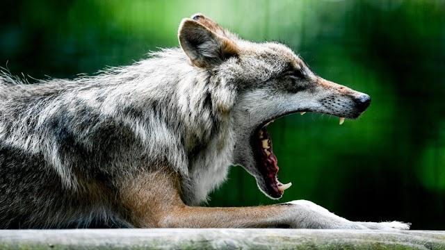 Farkastámadás történhetett Egerben