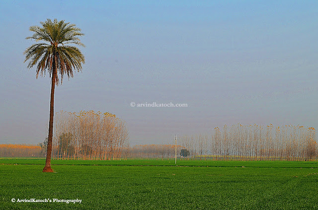 Alone Tree, Green Fields, Punjab