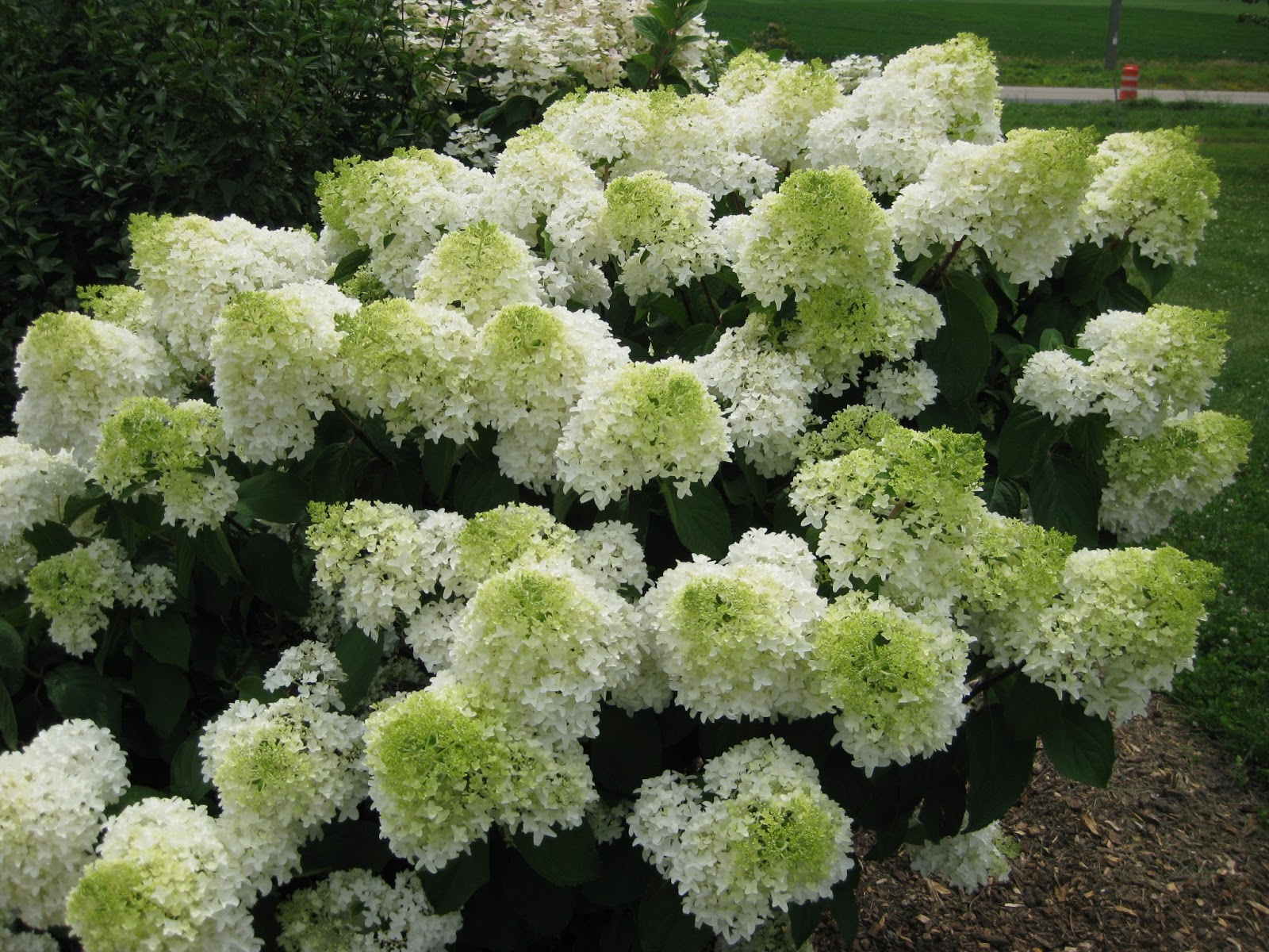panicled hydrangeas for consideration mark 39 s garden ruminations. Black Bedroom Furniture Sets. Home Design Ideas