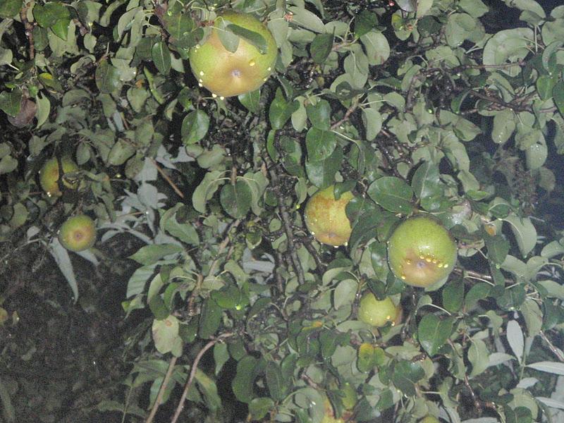 SAJE SUKASUKA Tragedi buah epal