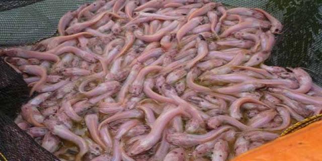 Ikan lele putih atau lele albino hias merupakan salah satu jenis ikan lele hias yang memiliki warna putih dan belang pada tubuhnya. Ikan ini memiliki tubuh yang tidak jauh berbeda dengan lele hitam pada umumnya. Ikan ini memiliki tubuh yang memanjang, pada bagian kepala terdapat empat pasang kumis
