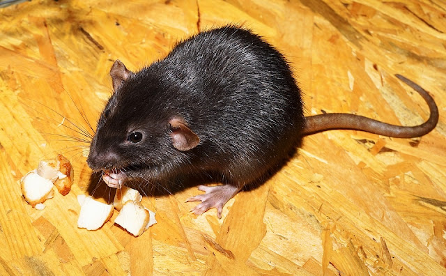 Four Shocking Reasons Why There Are Rats In Your House