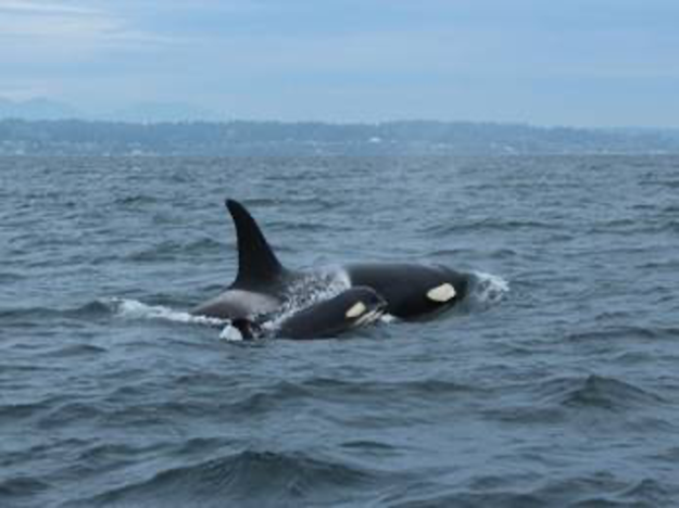 J56 and J31, photo by Researcher Mark Sears (permit #21348)