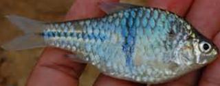 Ikan Wader merupakan salah satu jenis ikan kecil  Kabar Terbaru- BUDIDAYA IKAN WADER