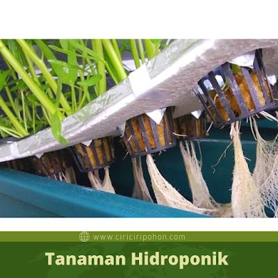 Ciri Ciri Pohon Tanaman Hidroponik