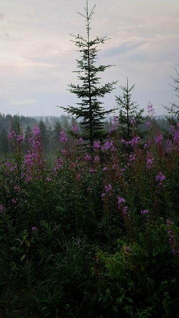 Spruce wallpaper, tree, forest, purple flowers