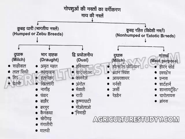 देसी गाय और विदेशी गाय की नस्लों में अंतर ( Difference between Desi cow and Exotic cow breeds )