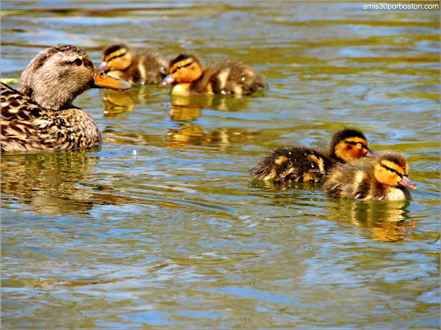 Familia de Patos en el Boston Public Garden