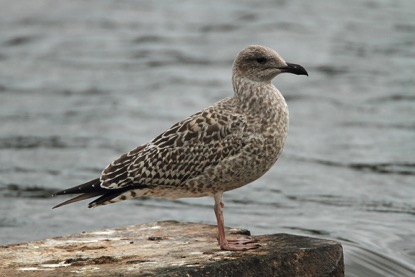 Richard Smith - Birdwatching Days Out: Yellow-legged Gull ...