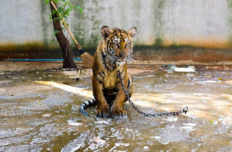 Cria de tigre acorrentada