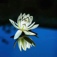 A white Night Blooming Water Lily on a black and blue background.