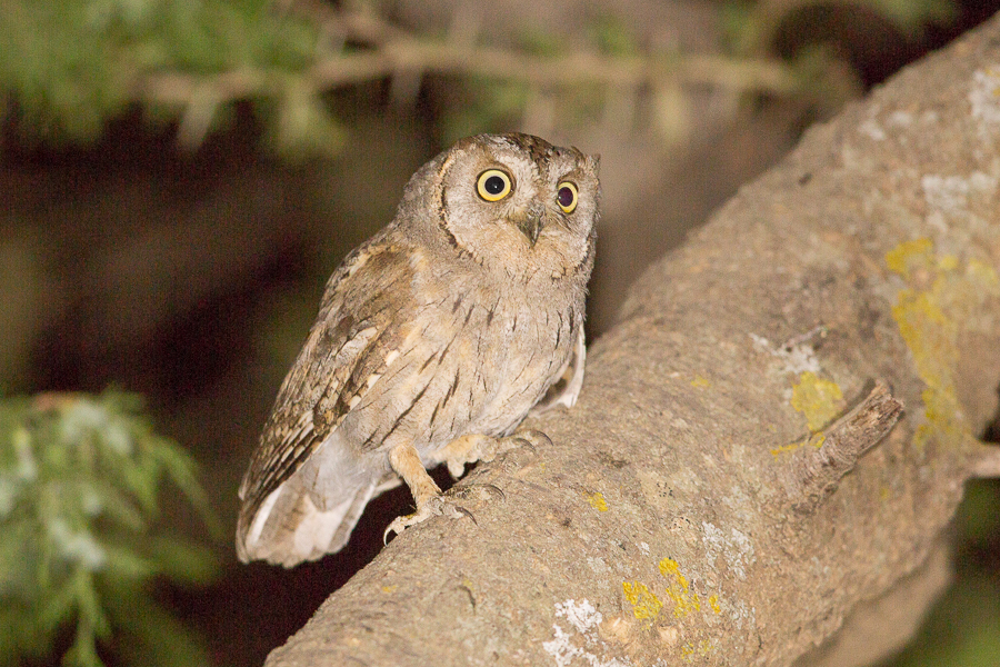 Arabian Scops Owl