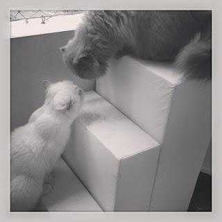 gatos disputando a janela