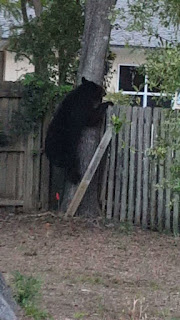FLORIDA BLACK BEAR, BRANDYWINE