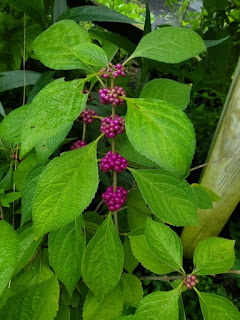 Callicarpa americana-  American Beautyberry
