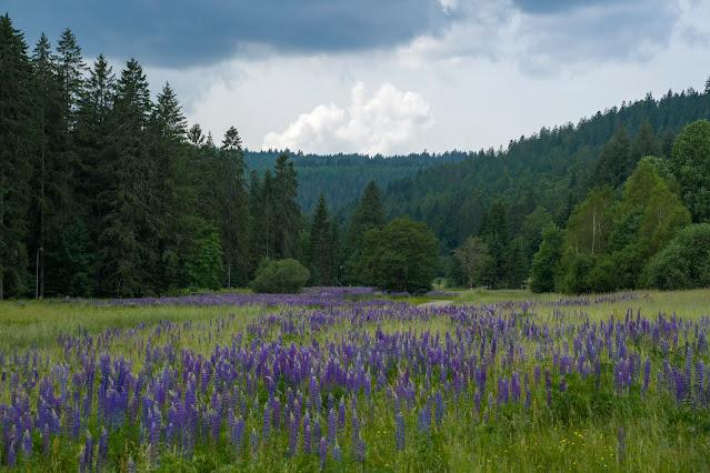 Premiumwanderweg Murgleiter | Etappe 5 von Baiersbronn zum Schliffkopf | Wandern nördlicher Schwarzwald 19