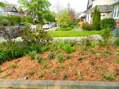 Bedford Park Front Yard Goutweed Removal Spring Garden Cleanup After by Paul Jung Gardening Services--a Toronto Gardening Company