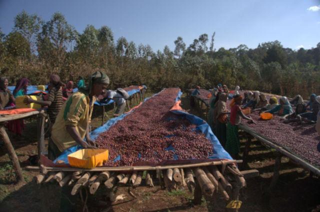 Hambela Dimtu - Ethiopian Coffee, Guji