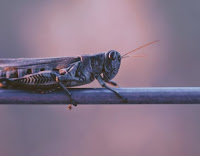 Locust Photo by Joshua Hoehne on Unsplash