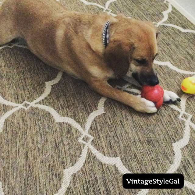 Beagle playing with toy