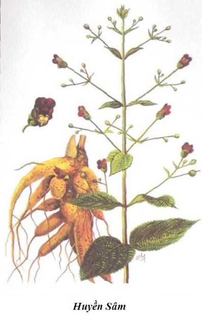 HUYỀN SÂM - Scrophularia buergeriana - Nguyên liệu làm Thuốc Bổ, Thuốc Bồi Dưỡng