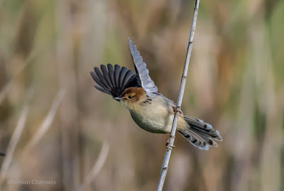 Challenges of Small Bird in Flight Photography - Canon EOS 7D Mark II