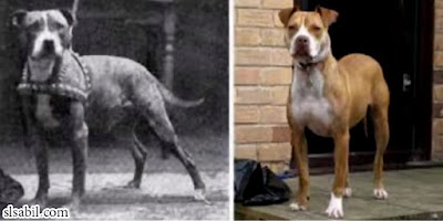 كلب-كولبي-Colby