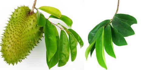 Hasil gambar untuk daun sirsak