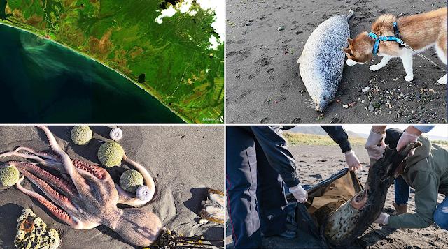 Океан на Камчатке отравлен, пляжи завалены трупами рыб.