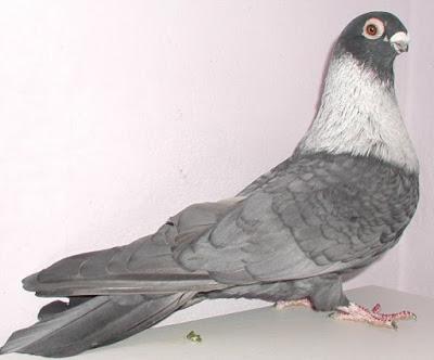 Swift Egyptien - andolusian