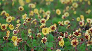 Geum: flores estivales y colores cálidos en el jardín