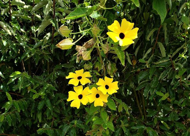 acanthaceae thumbergia alata flower costa rica
