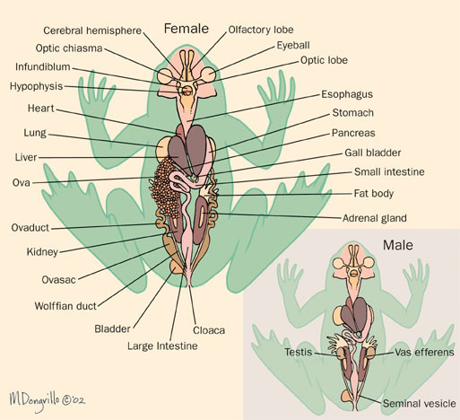 Frog Organs Medium