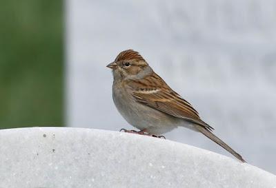 Photo of a Chipping Sparrow on a white headstone