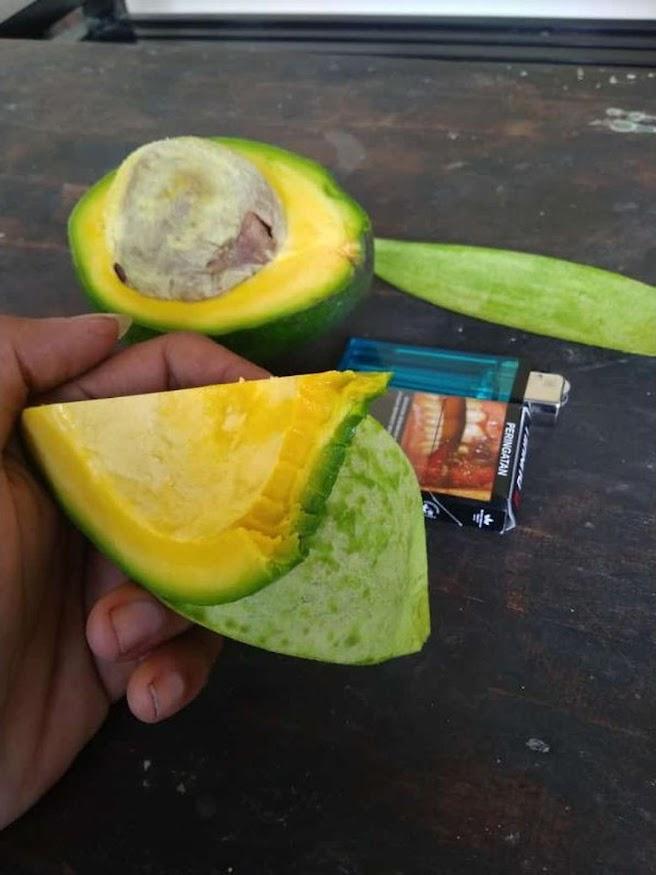 Bibit Alpukat Miki Original Tanaman Buah Berwarna Mentega Paling Genjah Anti Ulat Aceh