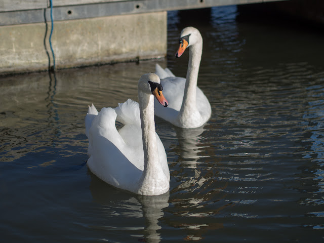 Photo of swans in the marina by Phil Restan