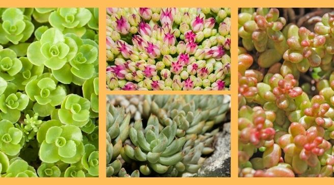 Sedum Beauty and Easy  growing  succulents | Stonecrop