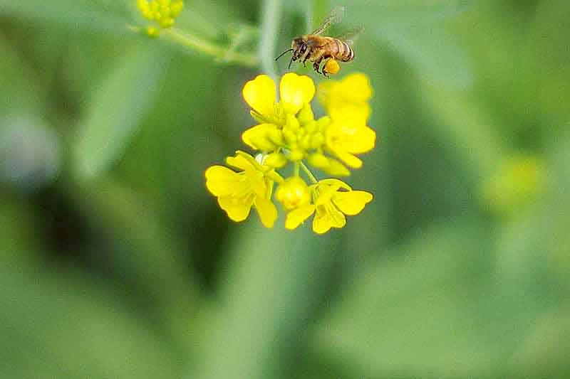 Bee in flight above yellow flower blosom